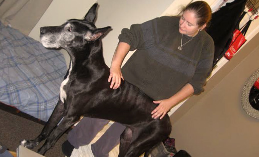 Lyz practicing alignment on a large great dane dog