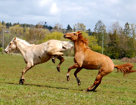 a horse kicking out at another horse
